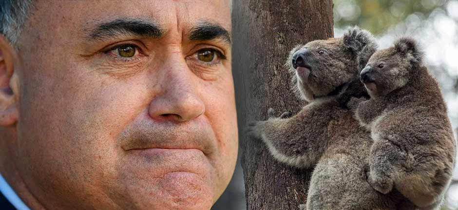 Koalagate : NSW Nats take on Gladys & get butt kicked