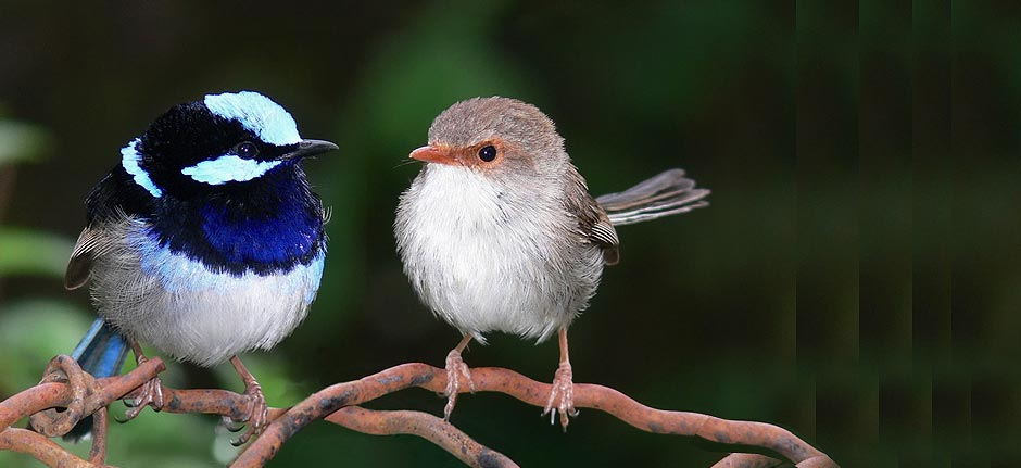 Victory ! 'Superb Fairywren' takes out Aussie BOTY title