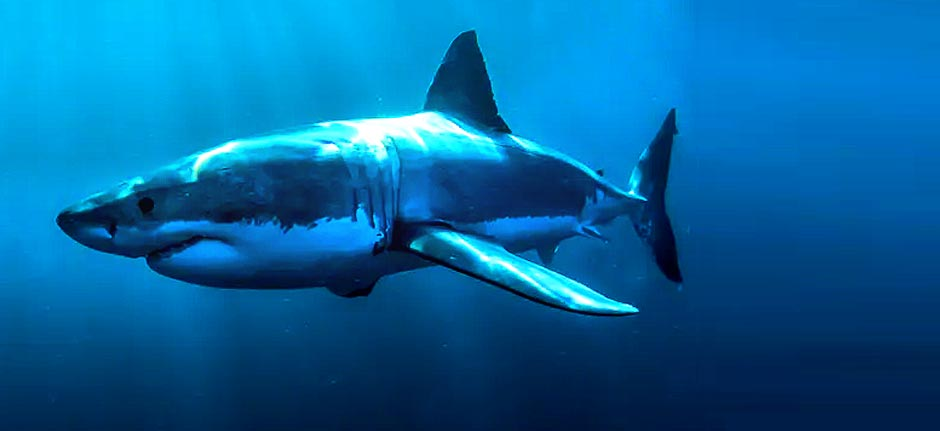 No evidence there's been an increase in shark numbers