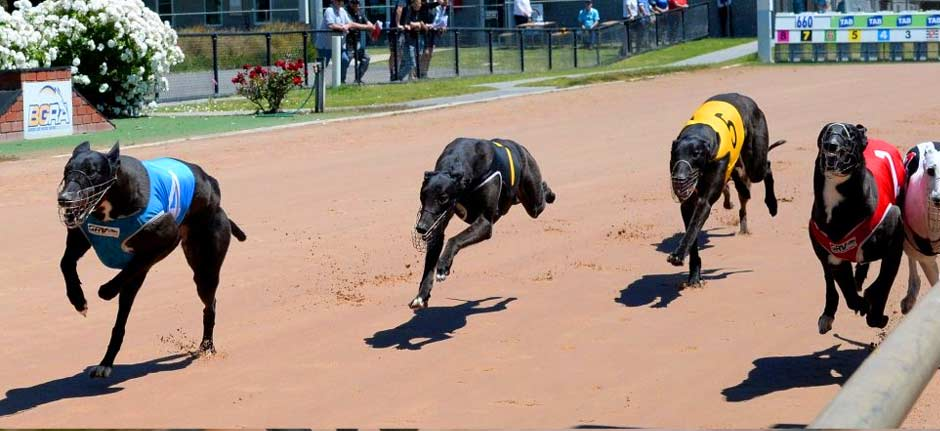 Wauchope Dogs go International with club now TAB-sanctioned