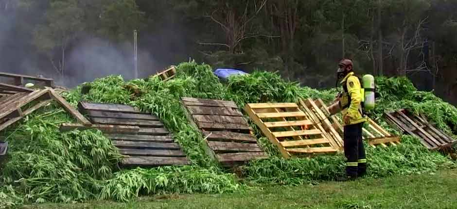 Taree Pot Industry Decimated ! Fed's $40m mega-bust