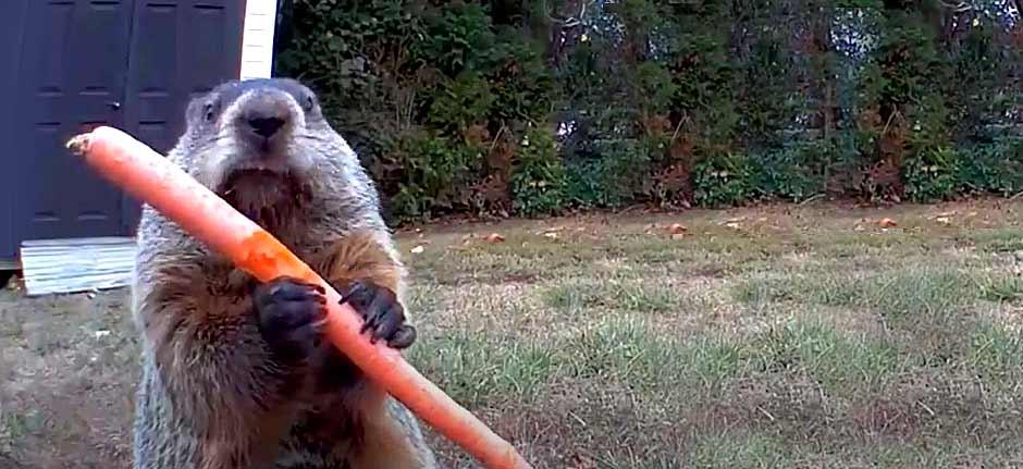 Groundhog Day ! 'Chuck' the Garden bandit strikes again