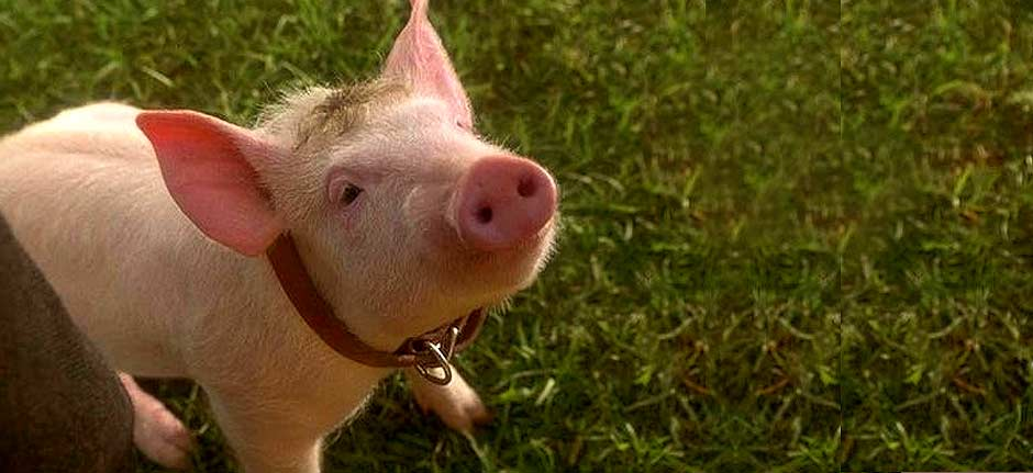 That'll do, pig, that'll do: cinematic classic Babe turns 25