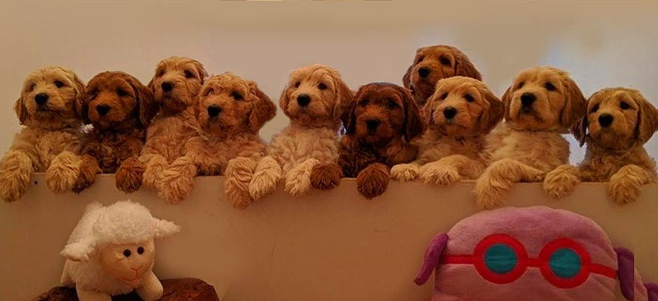 People paying oodles for designer puppies during virus