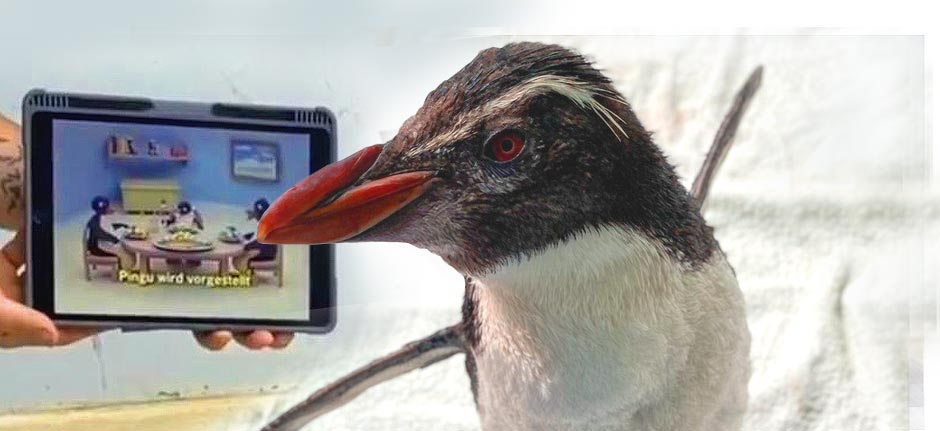 'Pierre' the penguin watches Pingu so he doesn't get lonely