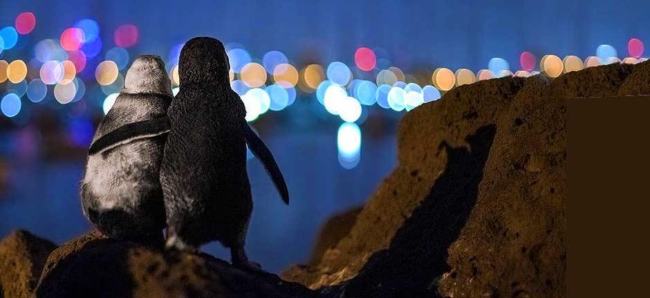 Widowed Melbourne penguins hug in award-winning photo