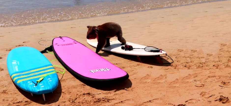 Koala goes to the beach ! delights Apollo Bay holiday makers
