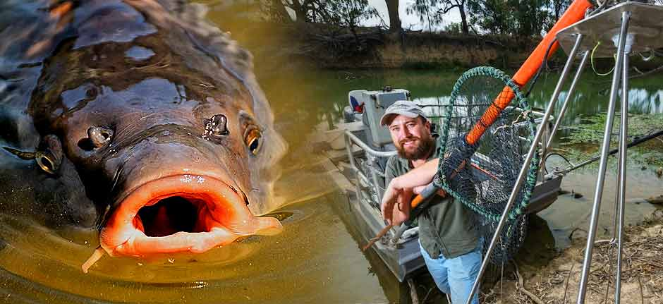 Carp : Pest fish occupies 97% of major east coast rivers