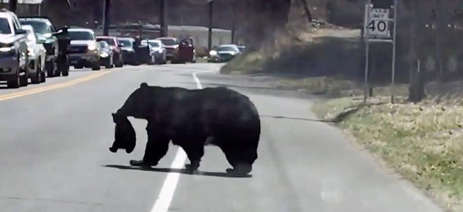 'Bearenting' : chaos as mama bear struggles to cross road