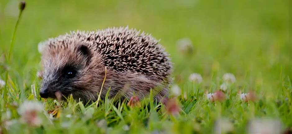 'Killing machines' - humble hedgehog enjoying NZ 'banquet'
