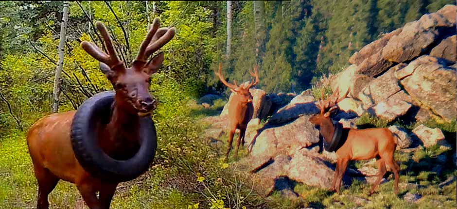 Colorado wildlife officers remove tyre from elk's neck